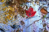 pic of canada maple leaf  - A red maple leaf on a beach surrounded by muddy sand contaminated with toxic chemical gasoline waste - JPG