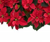 stock photo of poinsettia  - Poinsettia plant isolated on white fills the top half of the frame used for Christmas displays and themes - JPG