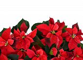 pic of poinsettia  - Poinsettia plant isolated on white fills the bottom half of the frame used for Christmas displays and themes - JPG