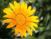 Yellow Flower, Marimutra, Catalonia, Spain
