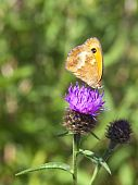 stock photo of gatekeeper  - a gatekeeper butterfly pyronia tithonus on a knapweed flower - JPG