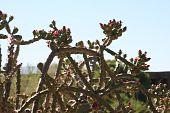 Cactus vines