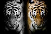 Two tiger