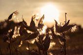 Wild flower in sunset