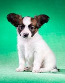 Papillon Puppy On A Green Background