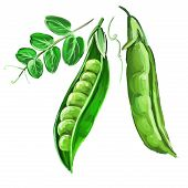peas vector illustration  hand drawn  painted watercolor