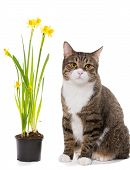 Grey Domestic Cat And Daffodils