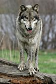 picture of wolf-dog  - a gray wolf standing on a log - JPG