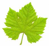 Grape Leaf 02