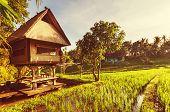 Rice terrace in Indonesia