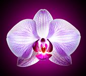 Close up Beautiful Pink Orchid Flower on the Violet Background