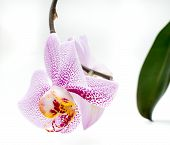 White orchid pink spots isolated