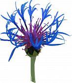 Vector wild blue flower.