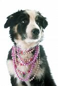 pic of collie  - puppy border collie in front of white background - JPG