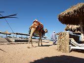 Arab man with a camel on the beach