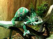 Veiled Chameleon 3
