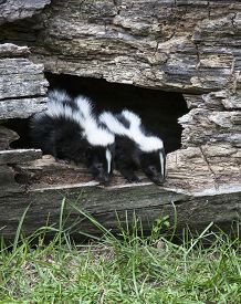 image of hollow log  - Young pair of baby skunks emerging from a fallen - JPG