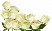 pic of single white rose  - Beautiful horizontal frame with bouquet of white roses with rain drops isolated on white background - JPG