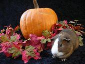 Autumn Cavy