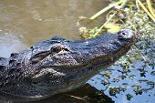 foto of crocodilian  - a picture of an american alligator in the water  - JPG