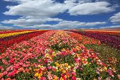 image of buttercup  - Flowers planted with broad bands of different colors - JPG