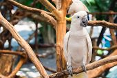 picture of cockatoos  - White cockatoo perched on branch at the Zoo located in  Thailand - JPG