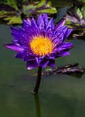 stock photo of water bug  - Big purple and yellow water lily on the dark water - JPG
