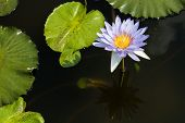 pic of water bug  - Light purple and blue water lily is on the dark water with green leafs - JPG