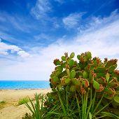stock photo of nopal  - Almeria Mojacar beach prickly pear plant in Mediterranean sea Spain - JPG