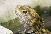 picture of tuatara  - a tuatara rests in a pool at the national aquarium of new zealand