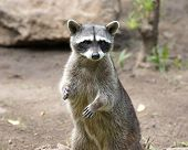 foto of raccoon  - Raccoon sitting and staring intently - JPG