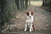 image of shepherds  - Australian Shepherd Puppy sitting On Forest Way - JPG