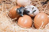 pic of born  - Newly born chick lying beside its brown egg - JPG