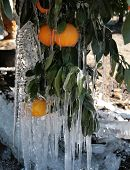 Orange Groves In Ice Ii