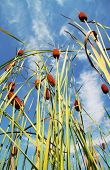 bulrush on blue background