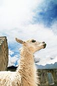 Llama peruvian in Machu-Picchu city