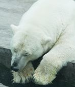 foto of polar bears  - Sleeping bear - JPG