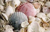 Calico Clam And Shells