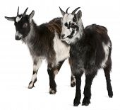 Common Goats from the West of France, Capra aegagrus hircus, 6 months old, in front of white background