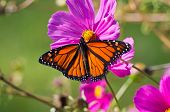 foto of monarch butterfly  - beautiful Monarch butterfly on a flower blossom - JPG