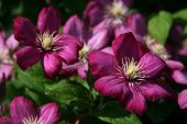 Two Purple Clematis
