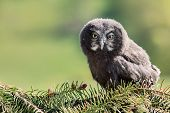 Youth Owl Gray. Great Grey Owl Or Great Gray Owl (strix Nebulosa) Is A Very Large Owl, Documented As poster