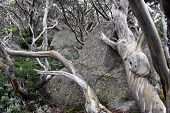 Twisted Roots Of A Dead Tree On Rocks. Pattern Of Dead Tree - Dry Part Of The Tree. Dry Branch. Dead poster
