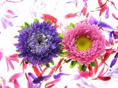 Colourful Asters