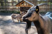 Domestic Goat Portrait In Pen, Capra Aegagrus Hircus Is A Subspecies Of Goat Domesticated From The W poster