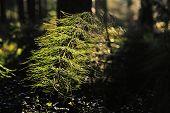 Horsetail. Equisetum Sylvaticum.