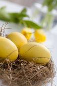 foto of nest-egg  - Yellow easter eggs with tulips on background