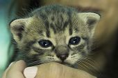 Girl Holding Curious Baby Kitten. Adorable Kitten In Girls Hand. Blue Eyes Kitten Watching. Kitten.  poster