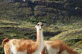 Guanaco stares at camera in Patagonia