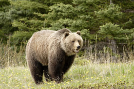 stock photo of grizzly bear  - Grizzly bear in a clearing in Jasper National Park Alberta - JPG